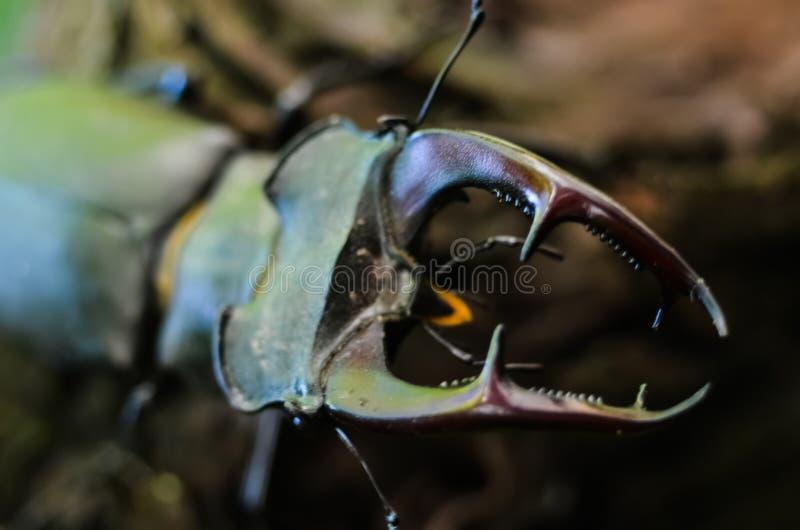 Cervus van Lucanus van de mannetjeskever op hout De rode macromening van het Lijst zeldzame insect, ondiep dieptegebied Selectiev royalty-vrije stock foto's