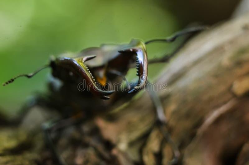 Cervus van Lucanus van de mannetjeskever op hout De rode macromening van het Lijst zeldzame insect, ondiep dieptegebied Selectiev stock foto's