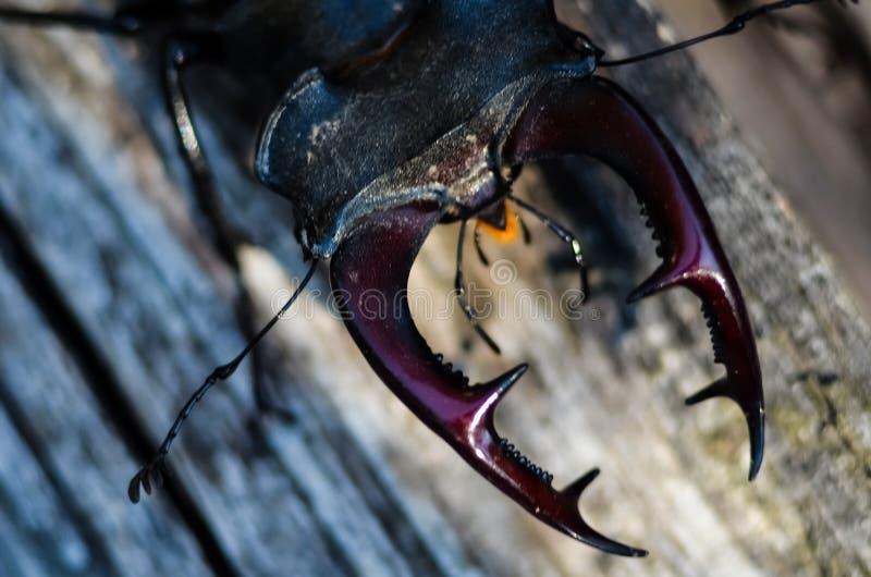 Cervus van Lucanus van de mannetjeskever op hout De rode macromening van het Lijst zeldzame insect, ondiep dieptegebied Selectiev royalty-vrije stock afbeelding
