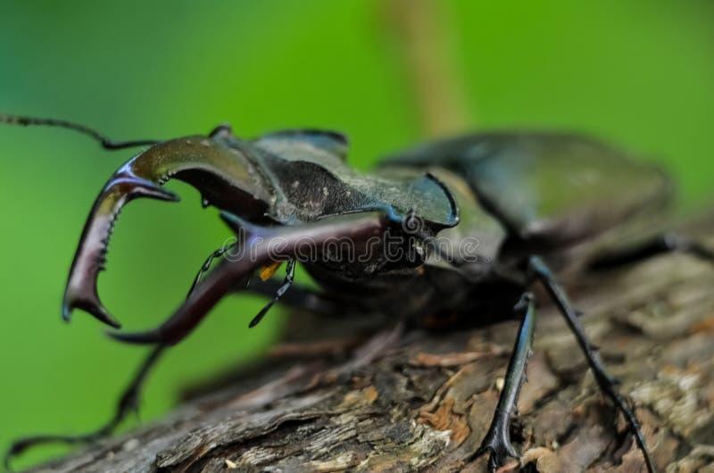 Cervus van Lucanus van de mannetjeskever op hout De rode macromening van het Lijst zeldzame insect, ondiep dieptegebied Selectiev royalty-vrije stock fotografie