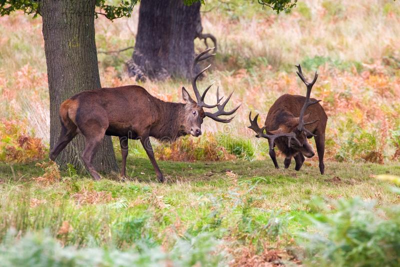 Cervuselaphus för röda hjortar under den brunstiga säsongen royaltyfri bild