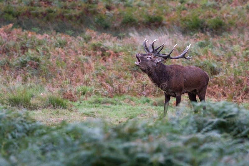 Cervuselaphus för röda hjortar under den brunstiga säsongen royaltyfria foton