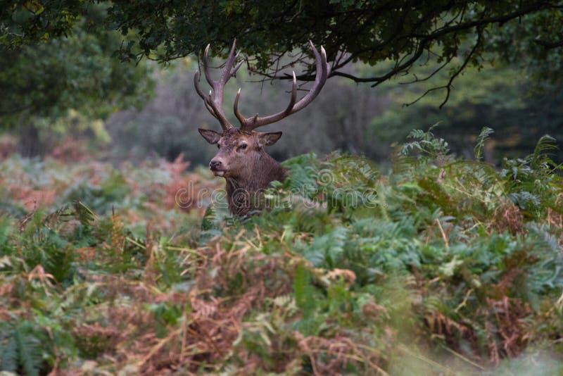 Cervuselaphus för röda hjortar under den brunstiga säsongen arkivfoto