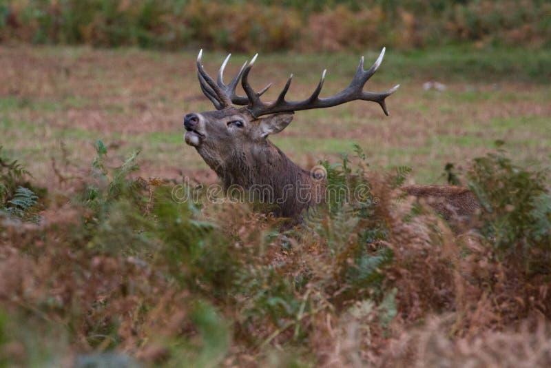 Cervuselaphus för röda hjortar under den brunstiga säsongen arkivbilder