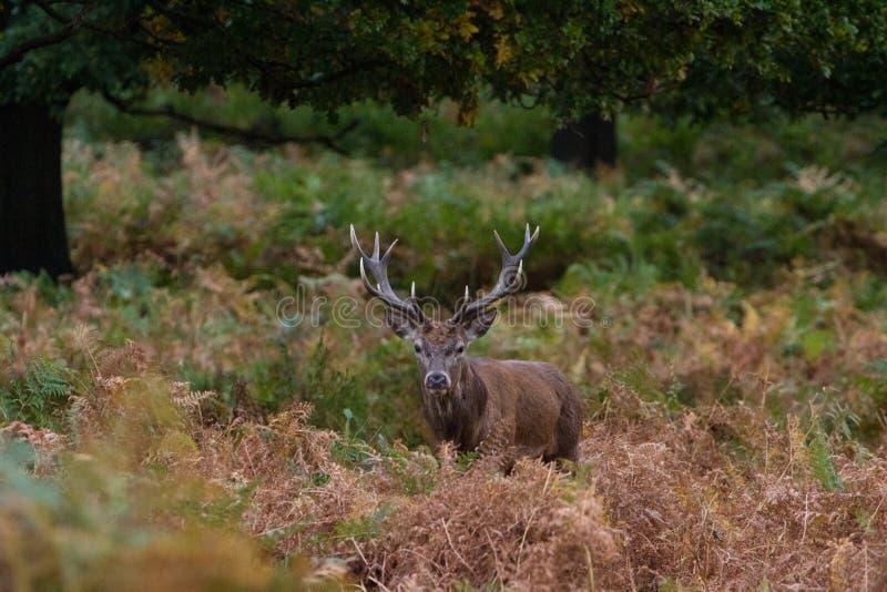 Cervuselaphus för röda hjortar under den brunstiga säsongen royaltyfria bilder