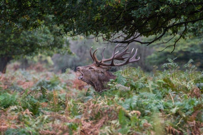 Cervuselaphus för röda hjortar under den brunstiga säsongen royaltyfri foto
