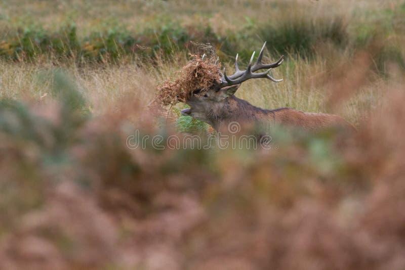 Cervuselaphus för röda hjortar under den brunstiga säsongen fotografering för bildbyråer