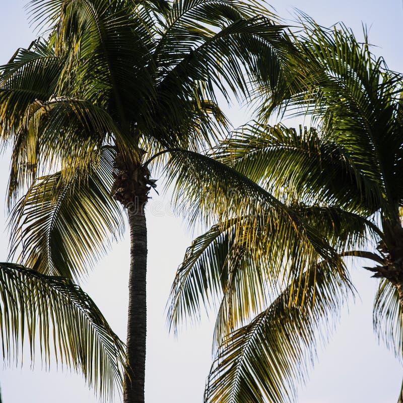 Ces couronnes de feuille des cocotiers donnent une lumière diffuse gentille images libres de droits