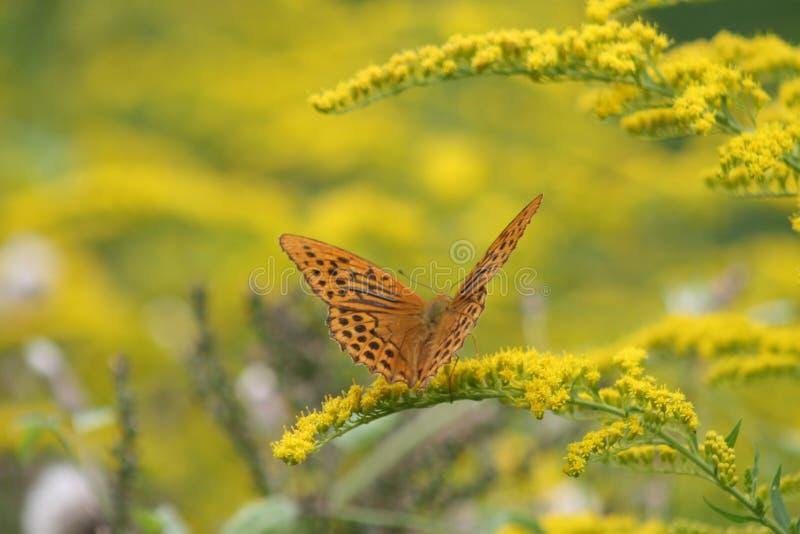 Cesarski salopa motyl w polu żółci kwiaty zdjęcia stock