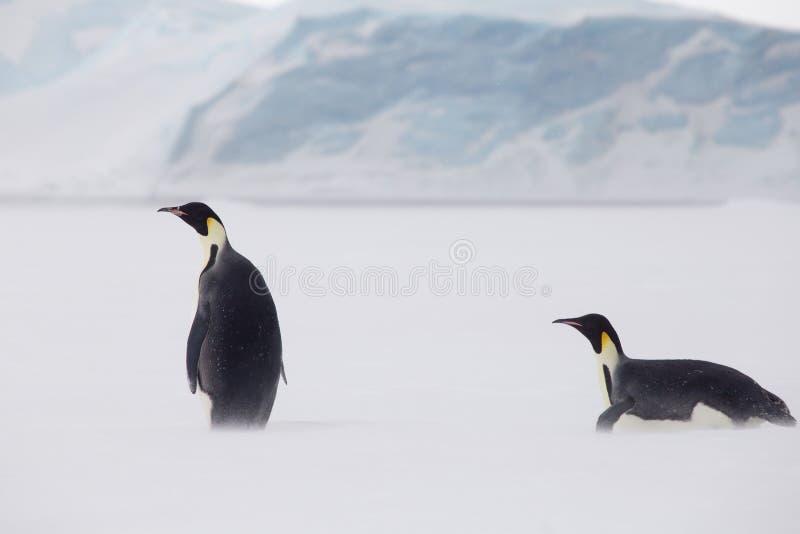 Cesarzów pingwiny w weddel morzu, jeden pozycja jeden na swój brzuchu zdjęcia stock