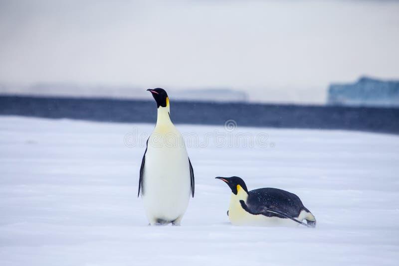 Cesarzów pingwiny w weddel morzu obraz royalty free