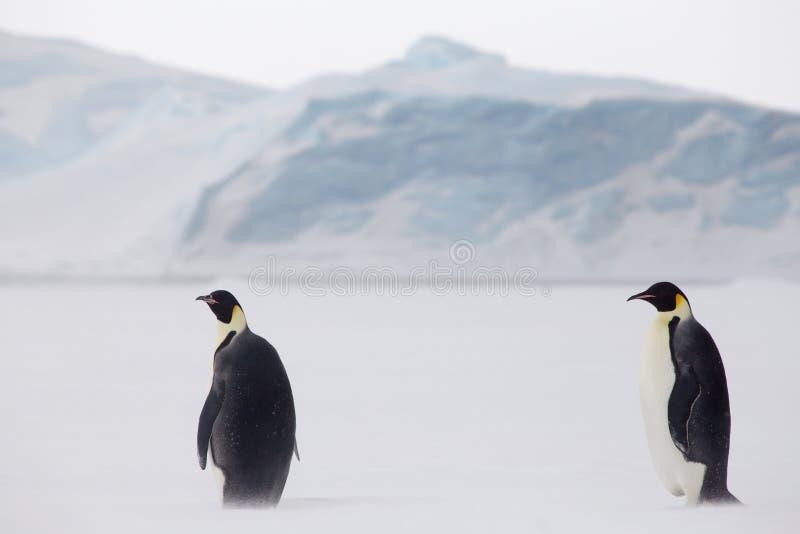 Cesarzów pingwiny w weddel morzu zdjęcia stock