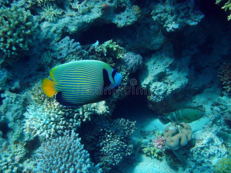 cesarz angelfish obrazy stock