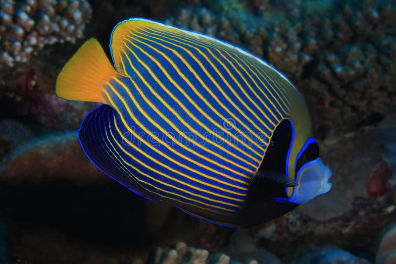 Cesarza angelfish obraz stock