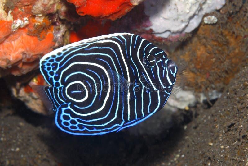 Cesarza Angelfish, Pomacanthus imperator, nieletni zdjęcia stock