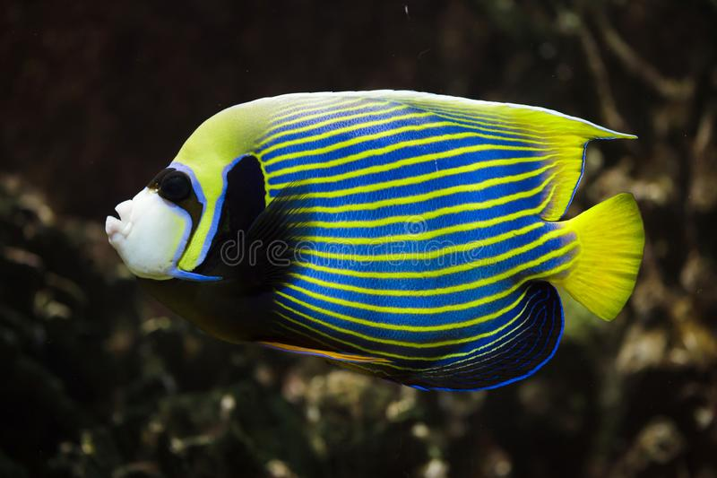 Cesarza angelfish Pomacanthus imperator obrazy stock