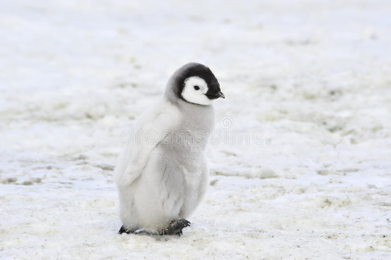 Cesarza pingwin Z kurczątkiem obraz royalty free