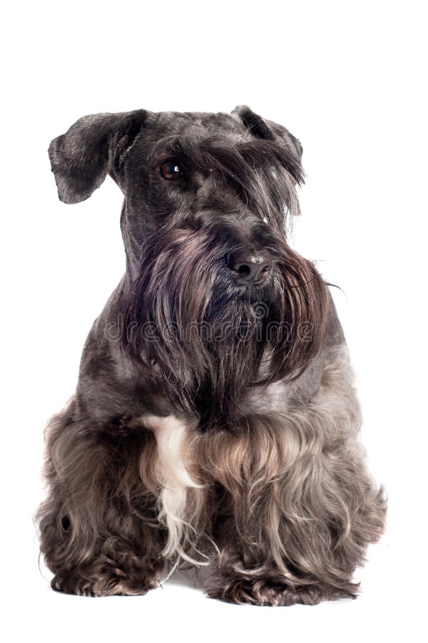 Cesky teriera psa portret obraz royalty free