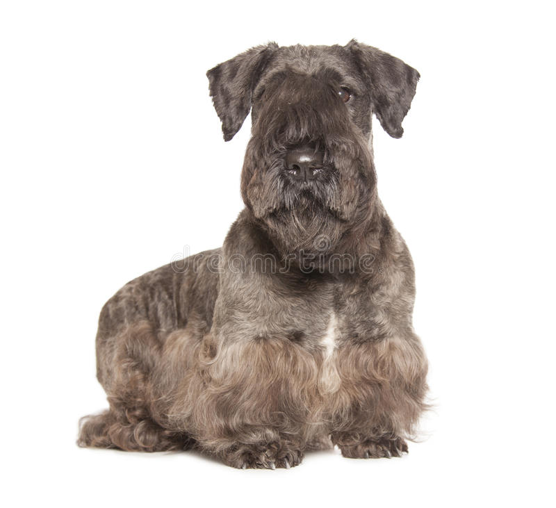 Cesky Terrier royalty free stock image