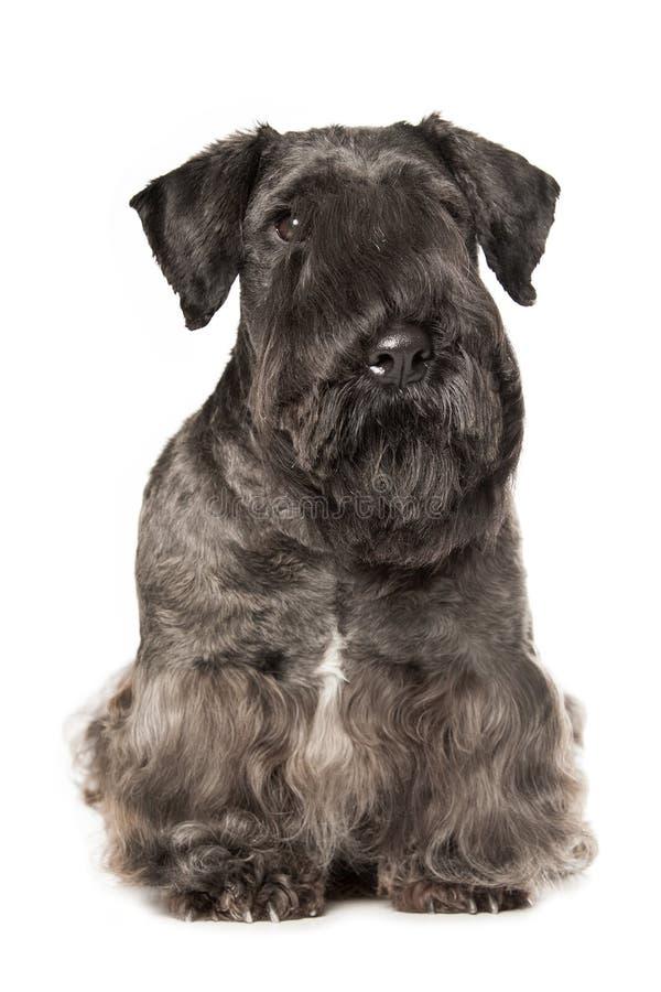 Download Cesky Terrier zdjęcie stock. Obraz złożonej z schnauzer - 53782278