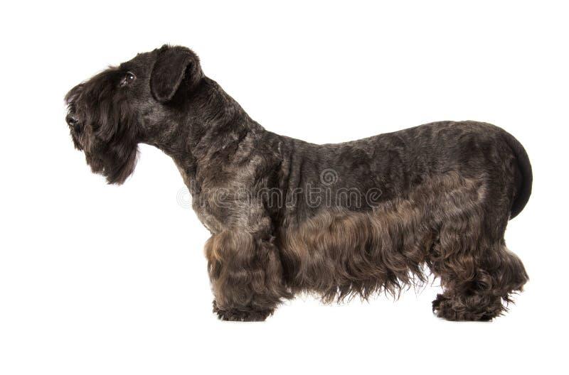 Cesky Terrier fotografie stock libere da diritti