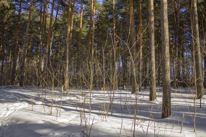 Cespugli asciutti che attaccano dalla neve e dai tronchi delle conifere verdi nella foresta di inverno immagine stock libera da diritti