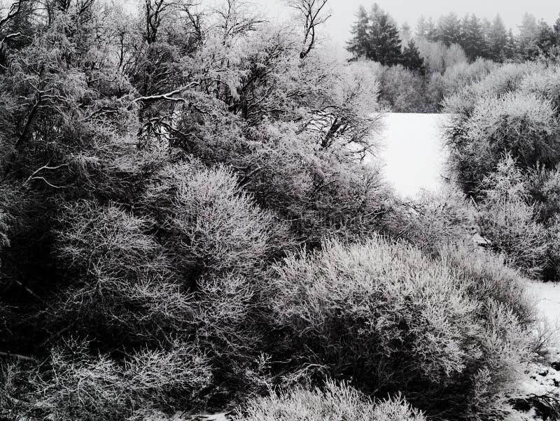Cespugli coperti in uno strato spesso di ghiaccio di rami nevosi Atmosfera nuvolosa e paesaggio congelato della neve in immagine stock libera da diritti