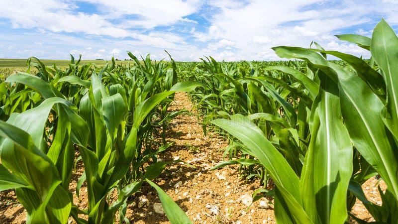 cespugli del cereale sul campo nella regione di Piccardia di Francia fotografia stock libera da diritti