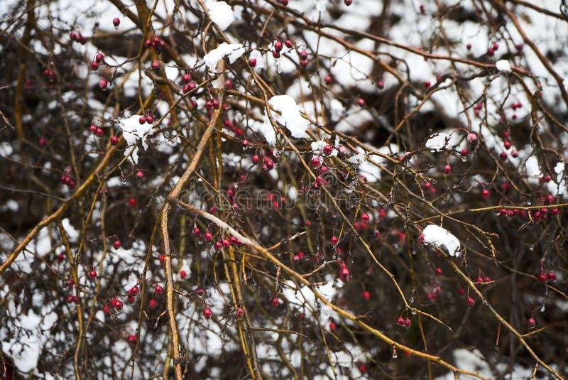 Cespugli del crespino con le bacche rosse nell'inverno sotto la neve immagine stock libera da diritti