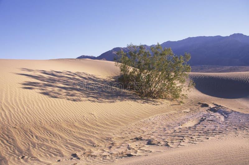 Cespugli del deserto sulle dune di sabbia immagini stock