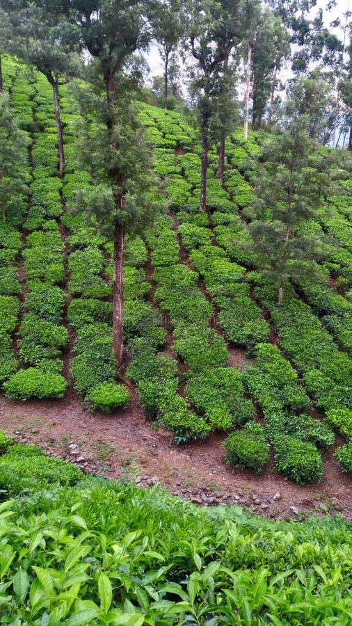 Cespugli del tè verde fotografia stock libera da diritti