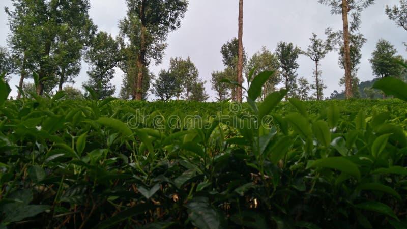 Cespugli del tè verde fotografie stock libere da diritti