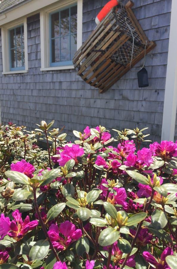 Cespugli dell'azalea davanti alla costruzione grigia dell'assicella con la trappola e la boa dell'aragosta fotografia stock libera da diritti