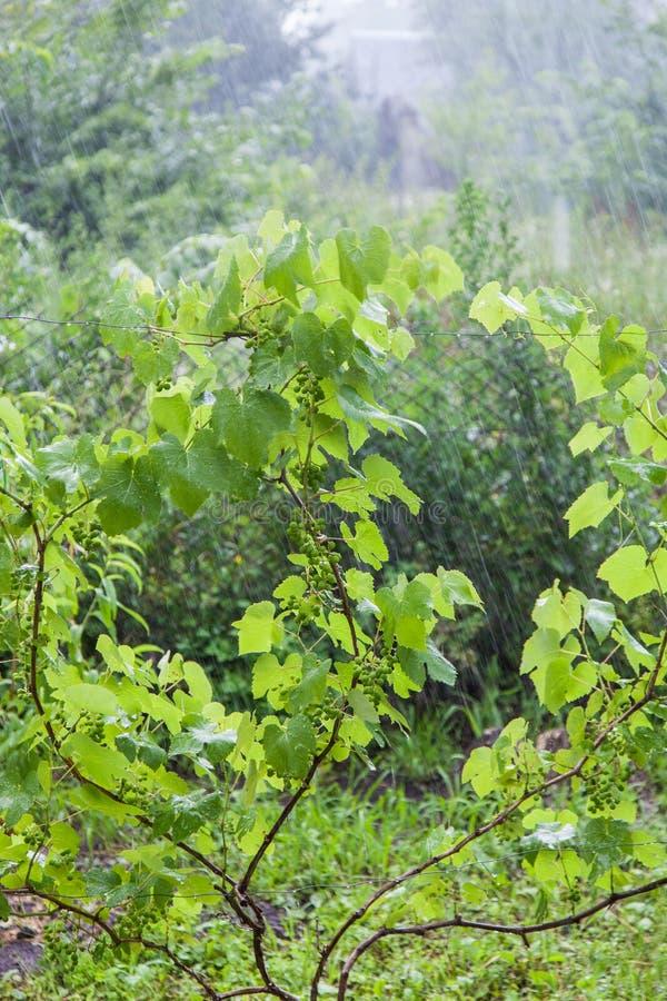 Cespugli dell'uva durante la pioggia persistente fotografie stock libere da diritti