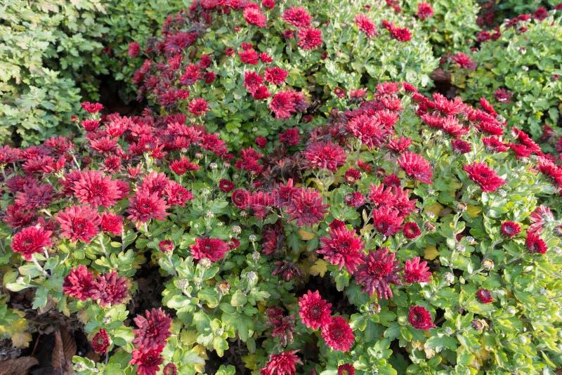 cespugli di fioritura a forma di globo del crisantemo rosso fotografia stock libera da diritti