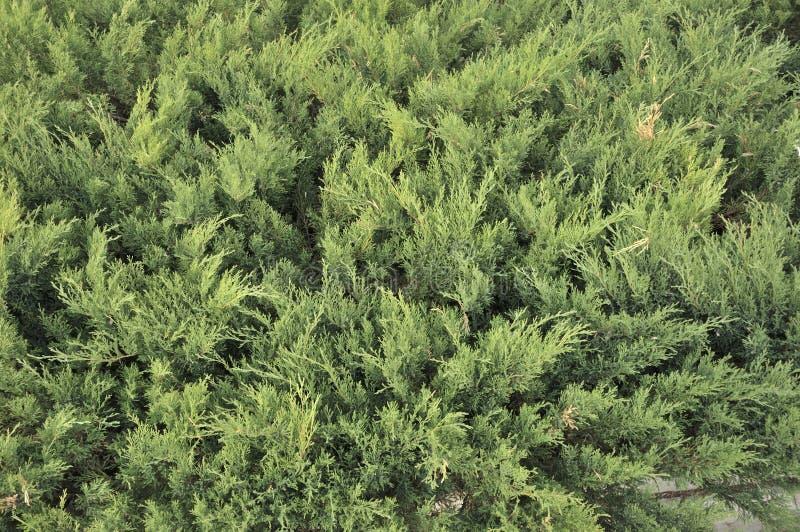 Cespugli di ginepro in giardino Piantine dei cespugli di ginepro in primavera Scuola materna di varie piante attillate verdi per  fotografia stock libera da diritti