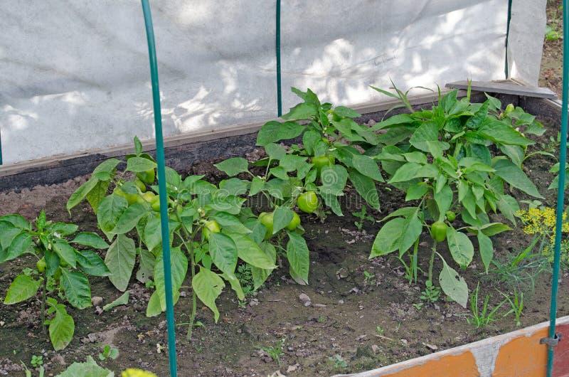 Cespugli di pepe con i frutti Letto di verdure immagine stock libera da diritti