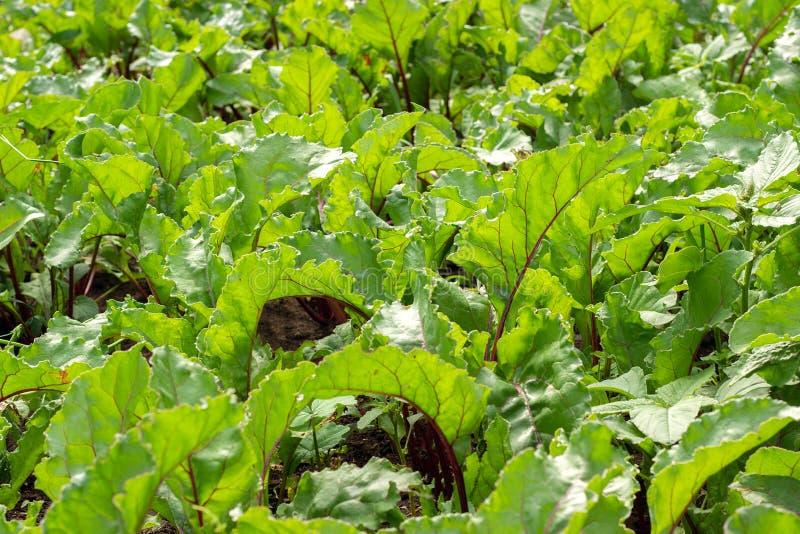 Cespugli di verdure verdi della barbabietola Ortaggi a radici crescenti nel campo aperto fotografia stock
