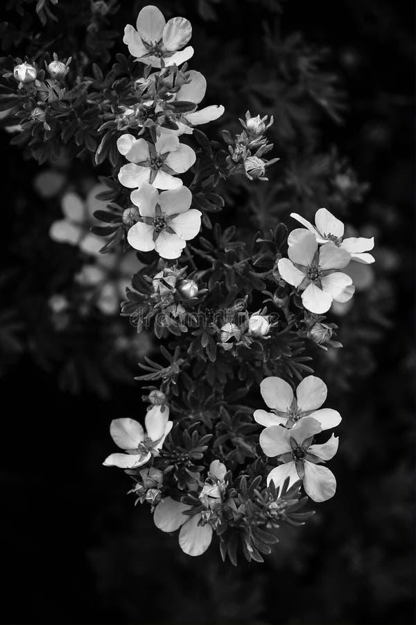 Cespugli fioriti in bianco e nero fotografia stock libera da diritti