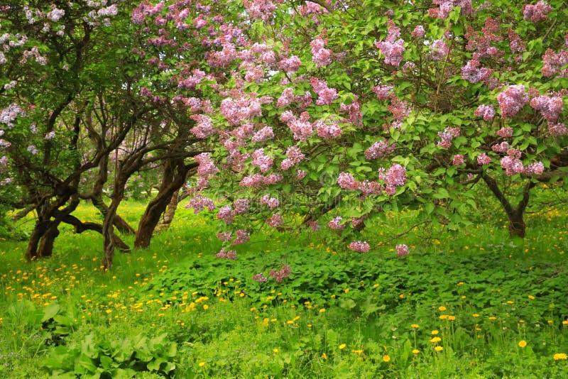 Cespugli lilla che sbocciano in un parco, tronchi curvi della lavanda immagini stock