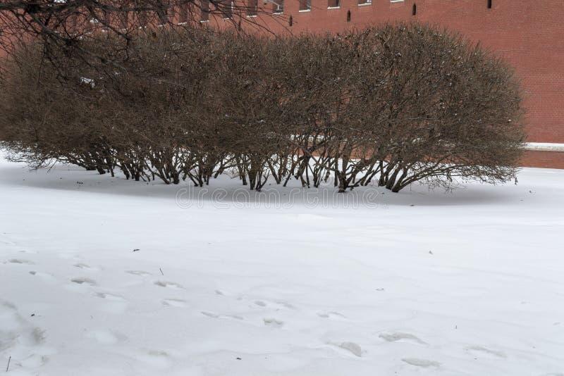 Cespugli nell'inverno fotografia stock libera da diritti