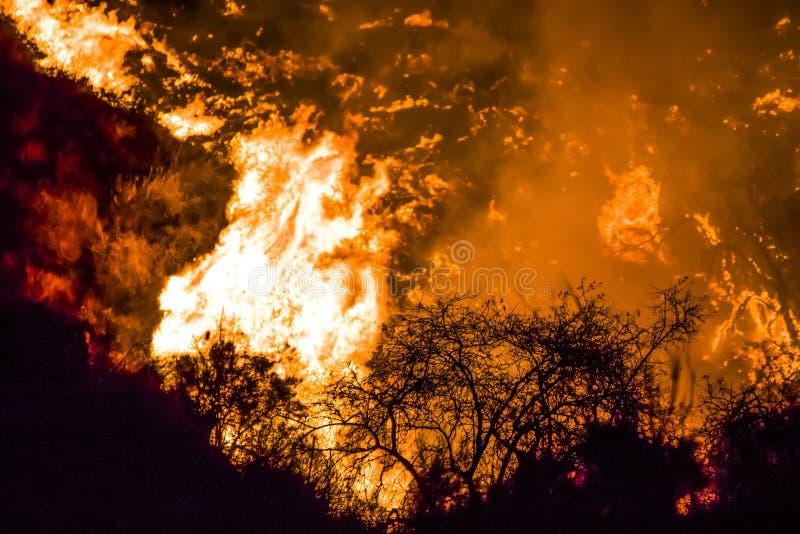 Cespugli in siluetta nera in priorità alta con le fiamme arancio luminose nel fondo durante i fuochi di California fotografia stock libera da diritti