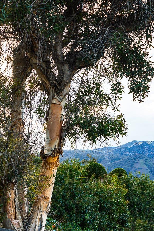 Cespugli, valle e catena montuosa di trascuratezza dell'albero di eucalyptus con cloudscape fotografia stock