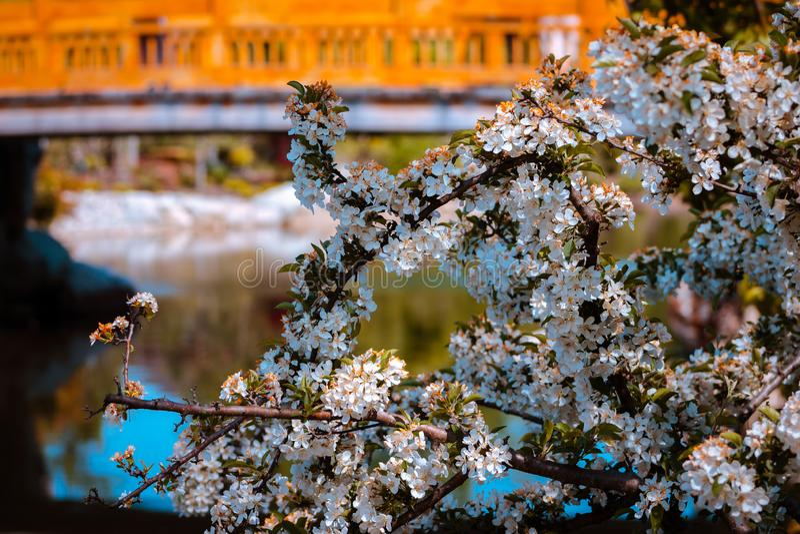 Cespuglio bianco di fioritura nei giardini giapponesi dallo stagno a Grand Rapids Michigan fotografia stock