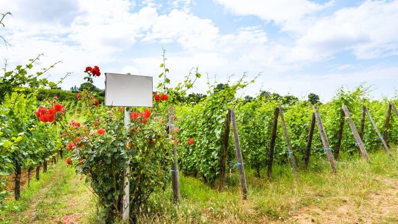 cespuglio bianco di rose e del piatto vicino alla vigna fotografie stock