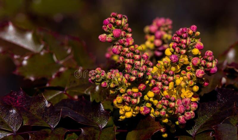 Cespuglio crescente dell'agrifoglio con giallo magenta rosso e foglie verdi e nuovi germogli fotografia stock libera da diritti
