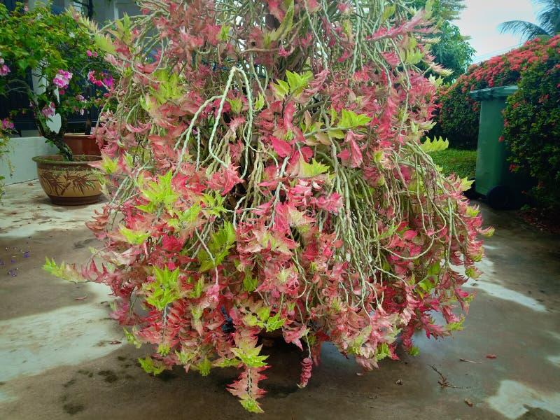 Cespuglio dell'ortensia di Oakleaf con colore rosso e verde in sue foglie di autunno Fiore nel giardino immagini stock