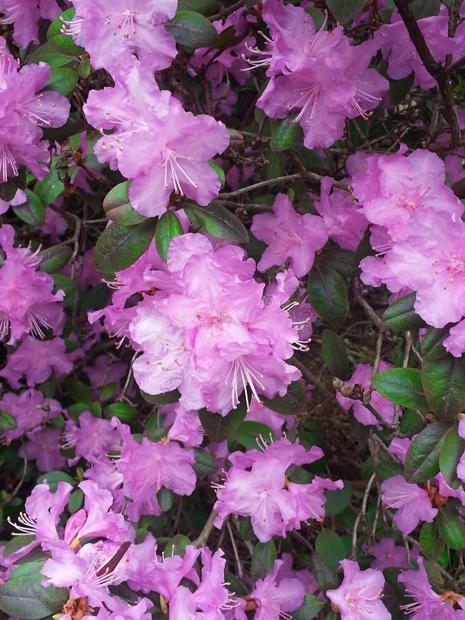 Cespuglio di fioritura del rododendro rosa di PJM immagine stock