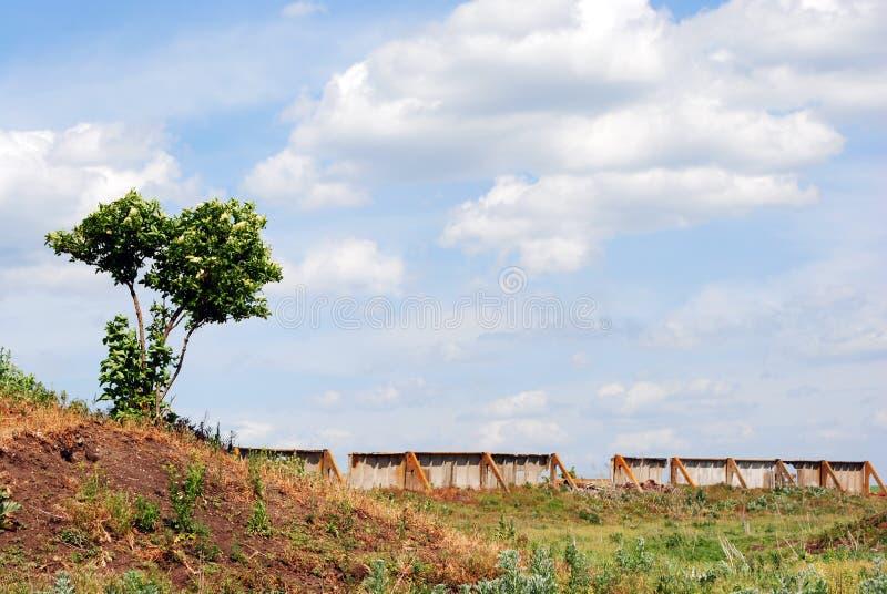 Cespuglio di fioritura della bacca di sambuco su una collina verde del prato, lungo la vecchia parete di sbriciolatura concreta d fotografia stock
