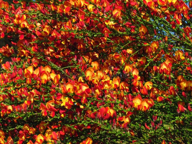 Cespuglio di fioritura della molla di cytisus scoparius con il fiore rosso fotografie stock libere da diritti